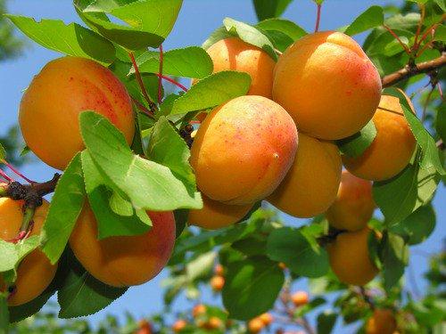 О пользе армянского абрикоса